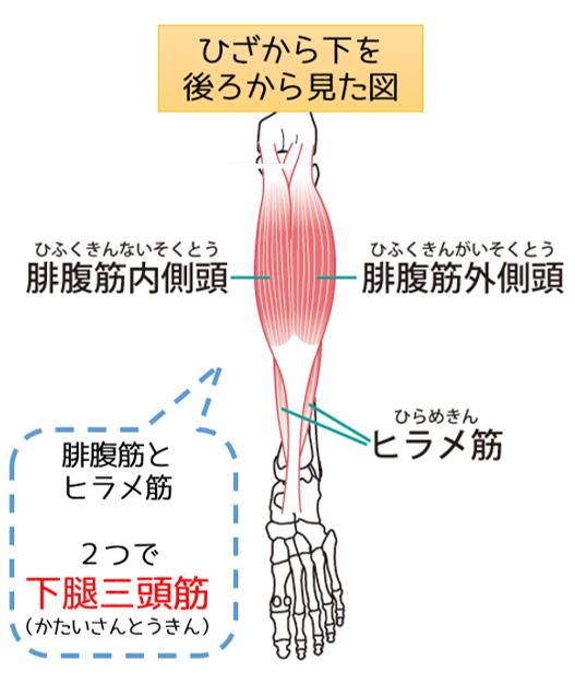 下腿三頭筋 ヒラメ筋 腓腹筋 筋肉 空鍼癒院 烏丸 鍼灸院 四条 五条